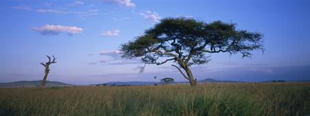 Acacia tree in a field