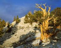 Bristlecone pine on hillside