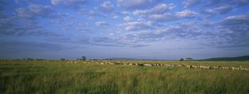 Herd of Burchells Zebras in the field (Equus quag