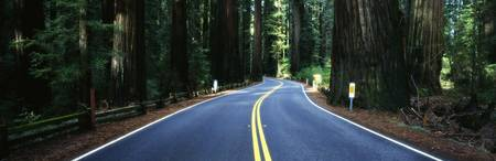 Road winding through redwood forest