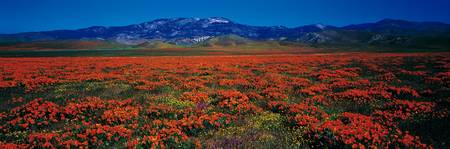 Field Poppy Flowers Antelope Valley CA