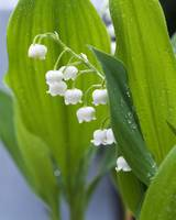 Close-up of dew drops on Lily-Of-The-Valley (Conv