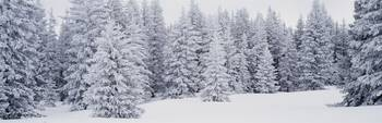 Fresh Snow on Pine Trees Taos County NM