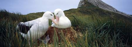 Wandering albatross Diomedea exulans mated pair b