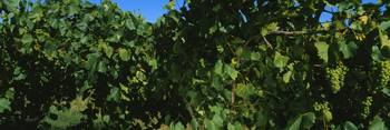 Close-up of green grapes in a vineyard
