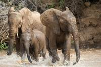African elephants (Loxodonta africana) playing wi