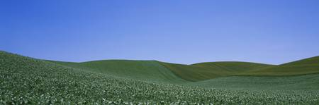 Pea field on a rolling landscape