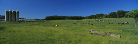 Cattle grazing in a field with silos in the backg