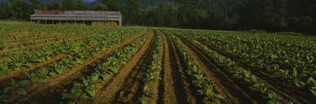 Tobacco field with a barn in the background