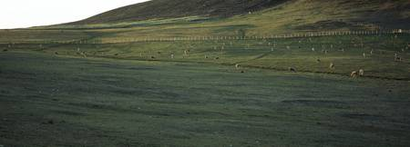 Sheep grazing in a field Saunders island Falkland