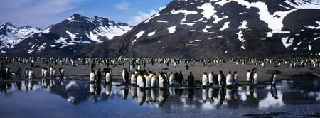 King Penguin Colony Aptenodytes patagonicus on th