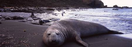 Southern Elephant seal Mirounga leonina on the co