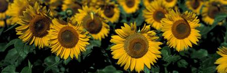 Sunflowers ND