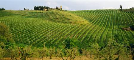Vineyard Tuscany Italy