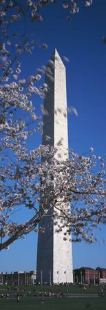 Cherry Blossom in front of an obelisk Washington