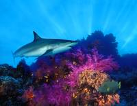 Caribbean Reef shark (Carcharhinus perezi) and So