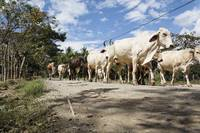 Herd of cattle walking on a dirt road