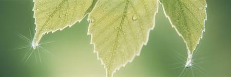 Oak Leaf With Dew Drops