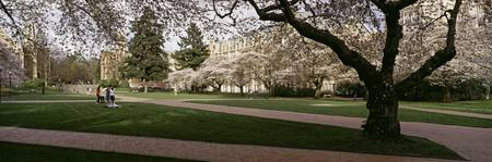 Cherry trees in the quad of a university