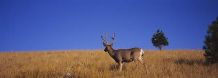 Side profile of a Mule deer standing in a field