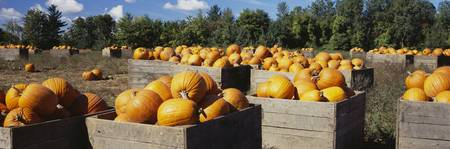 Ripe pumpkins in wooden crates