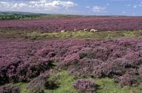 Heather in Yorkshire England