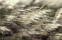 Windy Grass