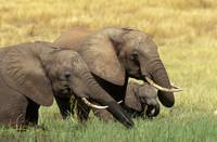 Elephants Eating in Africa