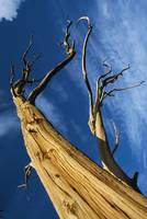 Low Angle View Of Dead Bristlecone Pine Tree
