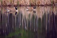 Pair Of Canada Geese On Still Water