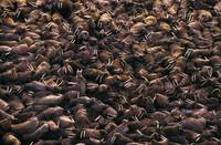 Walrus Colony