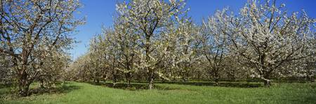 Cherry trees in an orchard