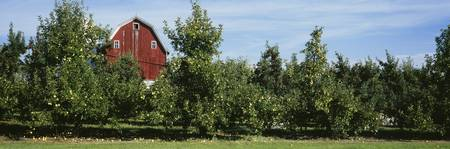 Red Barn Behind Apple Trees