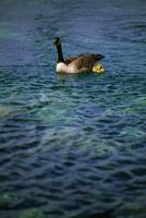 Canadian Goose And Gosling On Water