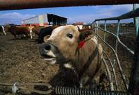 Cattle In Stockyard
