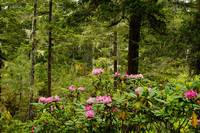Pacific Rhododendron Flowers (Rhododendron Macrop