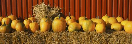 Pumpkins near a fence