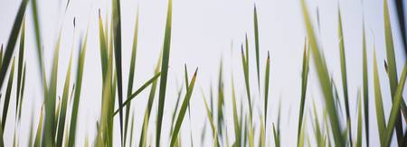 Close-up of cattail grass (Typha latifolia)