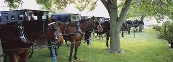 Amish buggies and horses parked at a farm