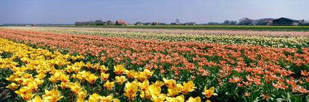 Field of Flowers Egmond Netherlands