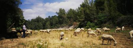 Flock of sheep grazing in a field