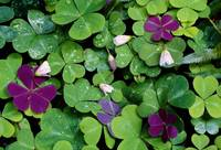 Wood Sorrel Plants (Oxalis Oregana)