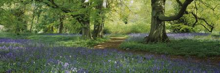 Bluebells in a forest
