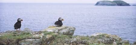 Atlantic Puffins Perching On Rocks