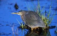 Young Green Heron Bird (Butorides Striatus) In Wa