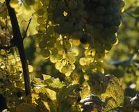 Bunches of grapes hanging on vines