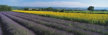 Lavender and sunflower field Provence France