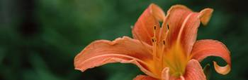 Close up of Orange Daylily Hemerocallis fulva