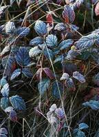Frost On Blackberry Bush Leaves