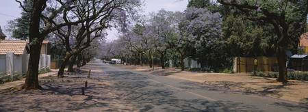 Jacaranda trees along with a road